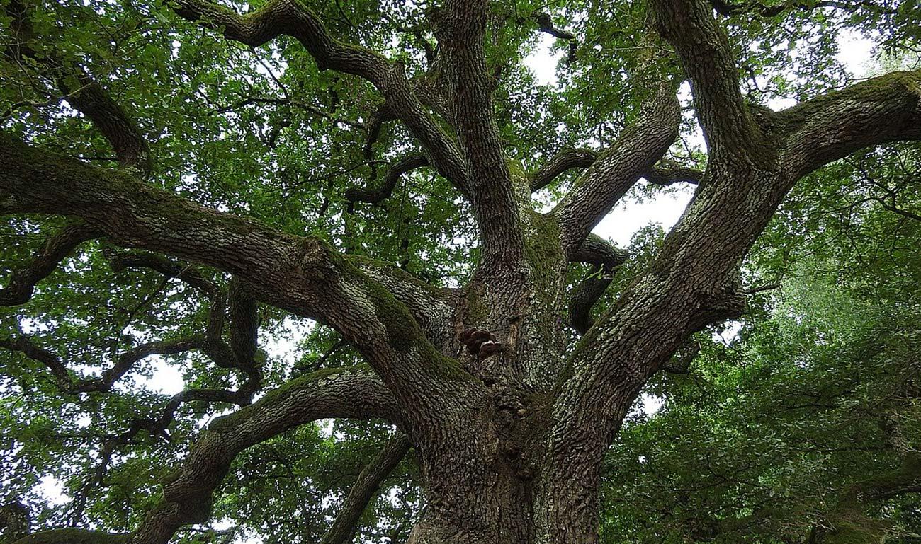 albero con una grande chioma